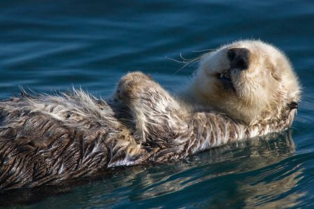 1024px-Adult_Sea_Otter_in_Morro_Bay