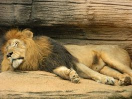1024px-Sleeping_male_lion_at_Riverbanks_Zoo